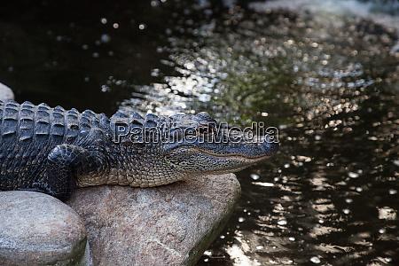 unge amerikanske alligator alligator mississippiensis