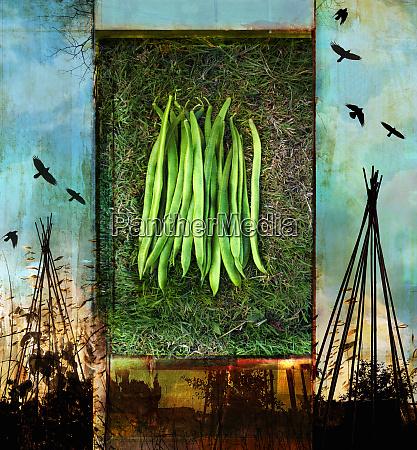 fresh green runner beans from vegetable