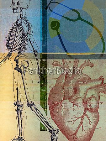 anatomical illustration of human skeleton and