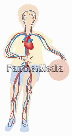 biomedical illustration of cardiovascular system of