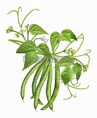 green beans on a stem