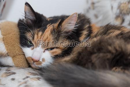 tricolor domestic cat enjoys long