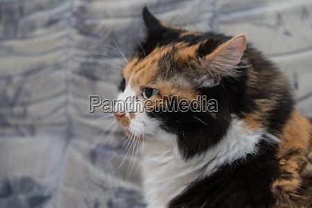 portrait tricolor cat look