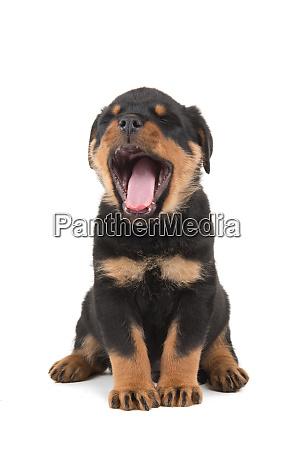 Populære Cute Rottweiler hvalp ytelt isoleret på en hvid - Stockphoto US-99