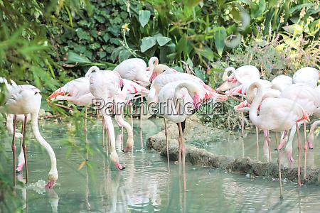 pink big birds greater flamingos