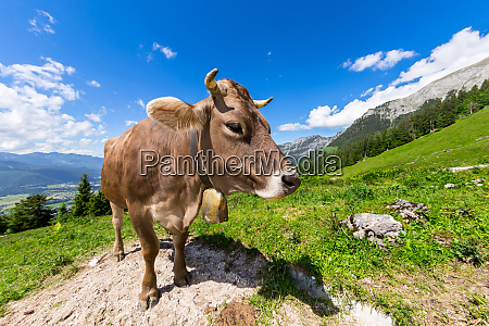 brun ko i bjerglandskab