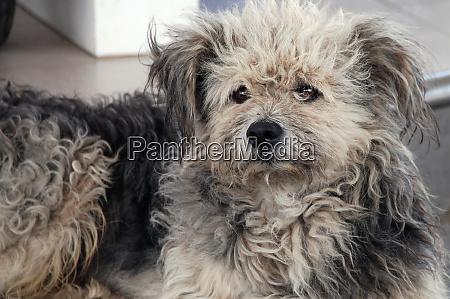 hjemlose shaggy hund