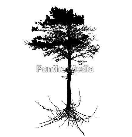 tree silhouette with root system isolated