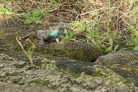 chameleon at the area of lake