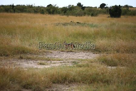 black backed jackal in the masai