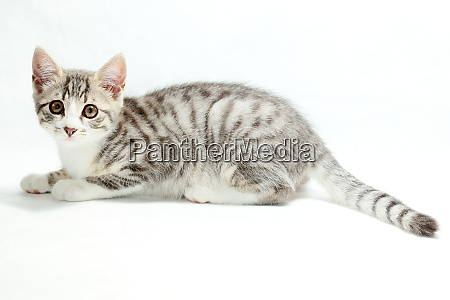 little young cat is laying