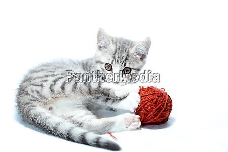 grey young cat is playing