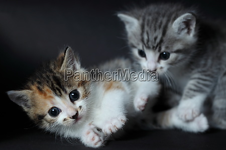 two young cats a grey and