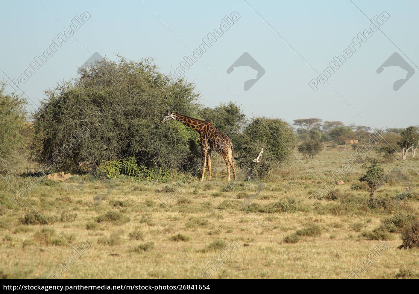 giraffe, in, front, of, a, bush - 26841654
