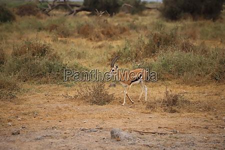 thomsons gazelle in amboseli national park
