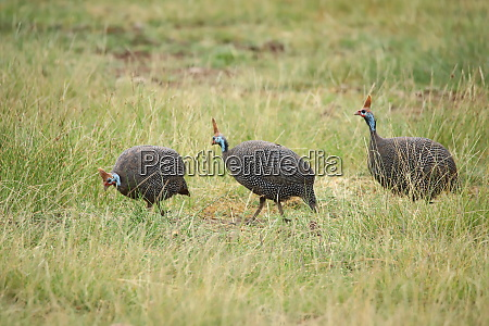 helmeted guineafowls in amboseli national park