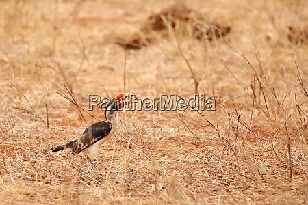 hornbill is grabbing something