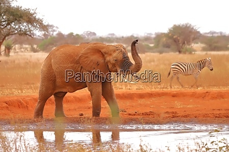 an elephant and a zebra at