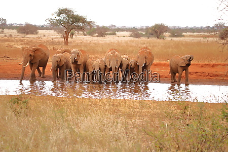 eleven thirsty elephants at a waterhole
