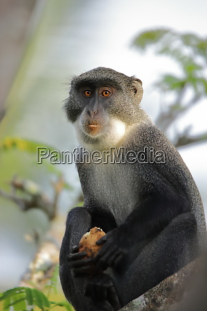 close up of a sykes monkey