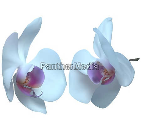 white orchid flowers isolated on white