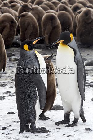 antarctica south georgia island salisbury plain