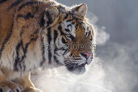 kina harbin siberian tiger park sibirisk