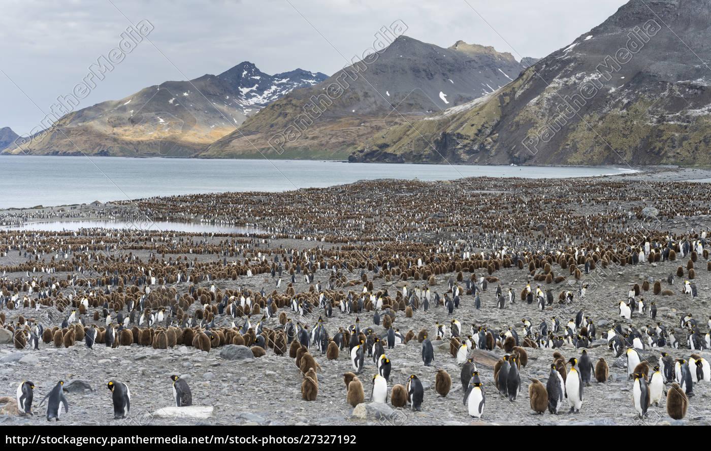 king, penguin, (aptenodytes, patagonicus), on, the - 27327192