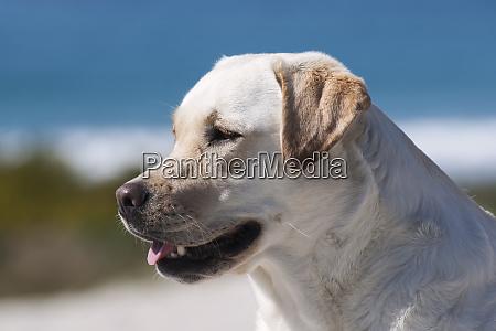 portraet af labrador pr