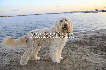 golden doodle pa mission bay beach