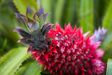 usa hawaii maui ananas bromeliad vokser