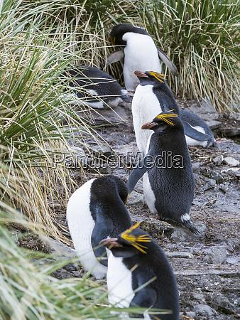macaroni, penguin, (eudyptes, chrysolophus), standing, in - 27732484