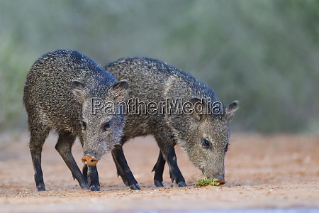 collared peccary unge drikker