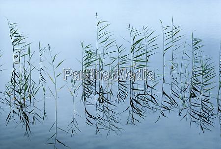 reeds og refleksioner pa denne dam