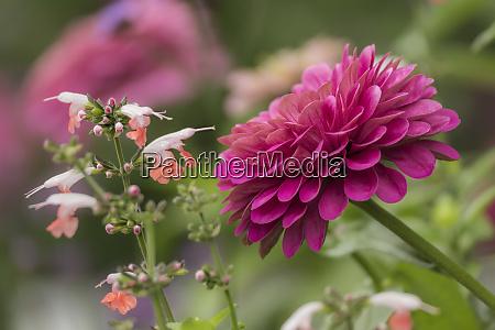 zinnia blomst og snapdragon blomst