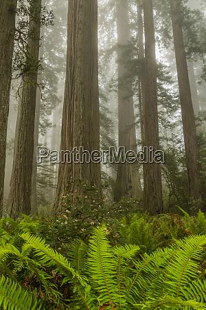 usa california redwoods national park redwood