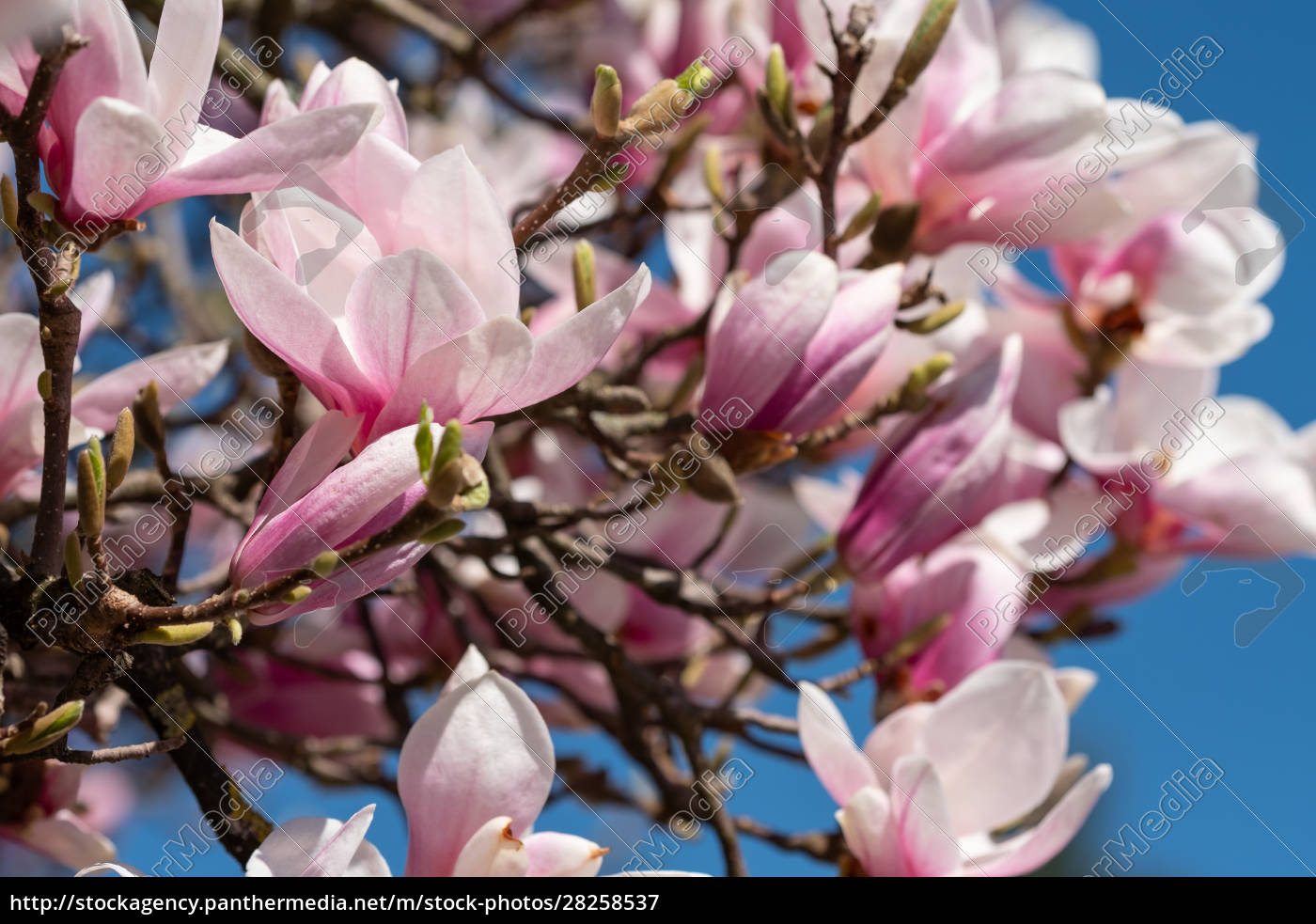 pink, magnolia, blomstre, prydplante - 28258537