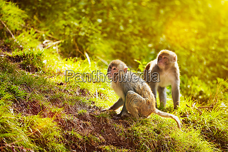 rhesus macaques in forest
