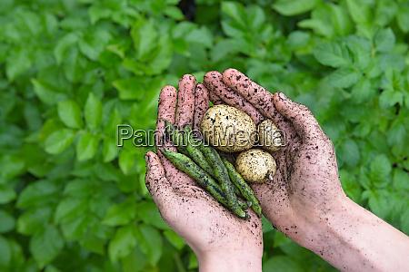 haveprodukter bonner og kartofler holdt i