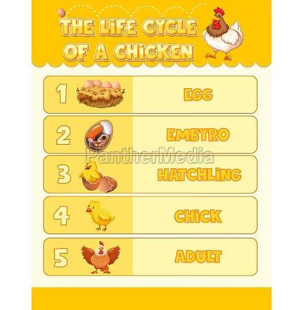 diagram der viser kyllingens livscyklus